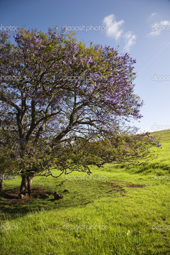 jacaranda baum in maui hawaii stockfoto iofoto 9424726. Black Bedroom Furniture Sets. Home Design Ideas