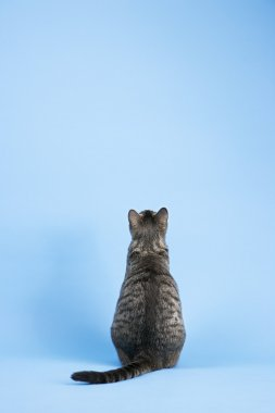 Back view of gray cat.