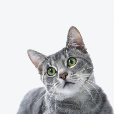 Portrait of gray striped cat.