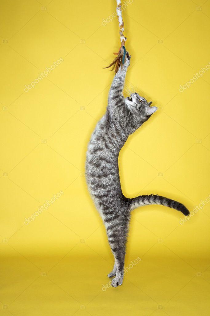 灰色の猫ジャンプ攻撃グッズ — ストック写真
