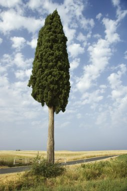 One cypress tree in field in Tuscany, Italy. stock vector