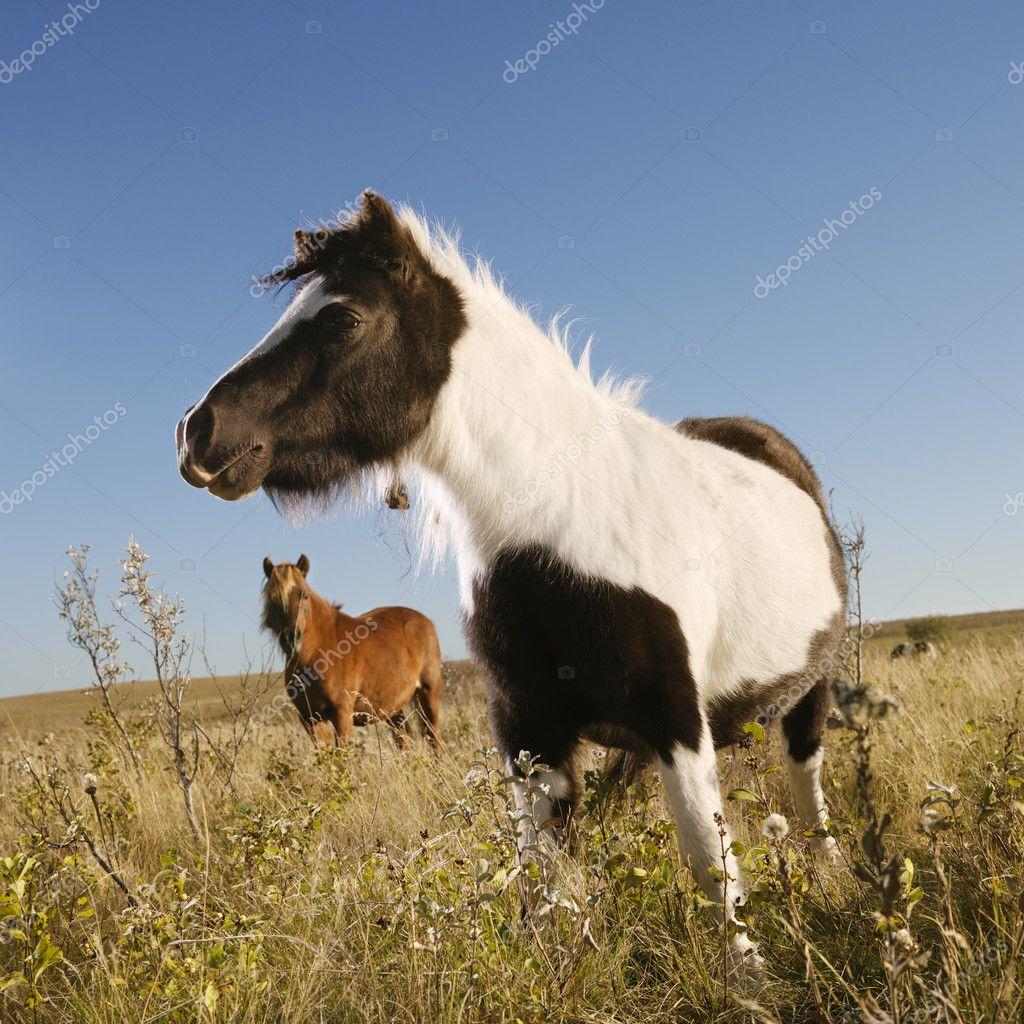 Miniature horses in field.