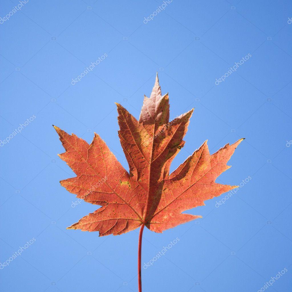 Red autumn maple leaf.