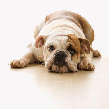 Bulldog lying on floor.