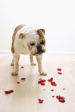 Dog looking at petals.