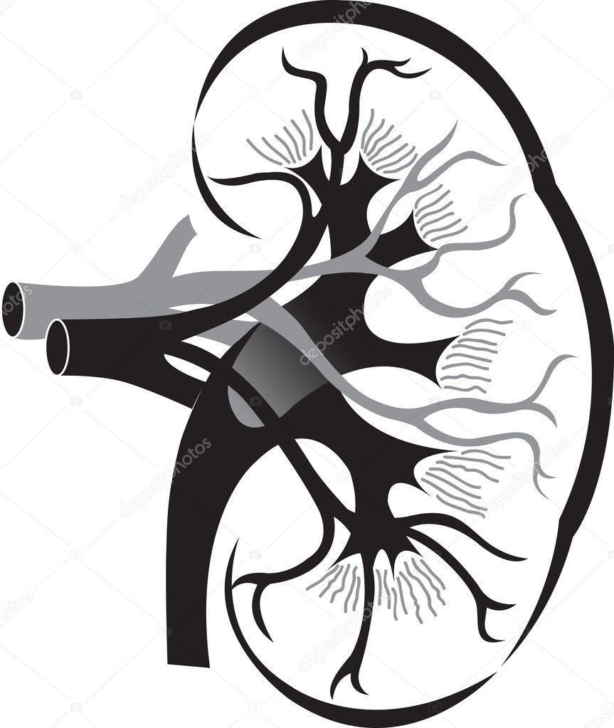 Kidney Logo Stock Vector 169 Magagraphics 9879632