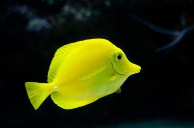 Bright yellow tropical fish