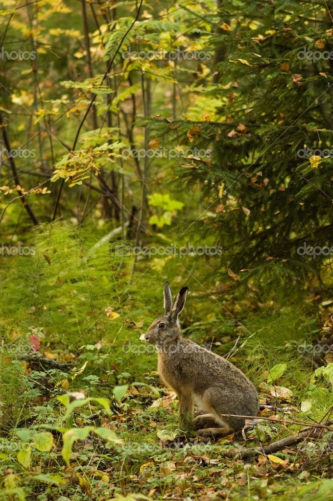 Alert hare in the forest