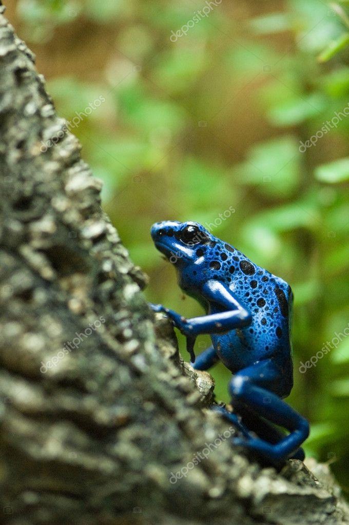 Grenouille Bleue Venimeuse grenouille venimeuse dard bleu — photographie mdurinik © #9283459