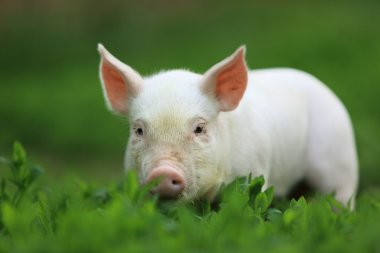 Young pigling