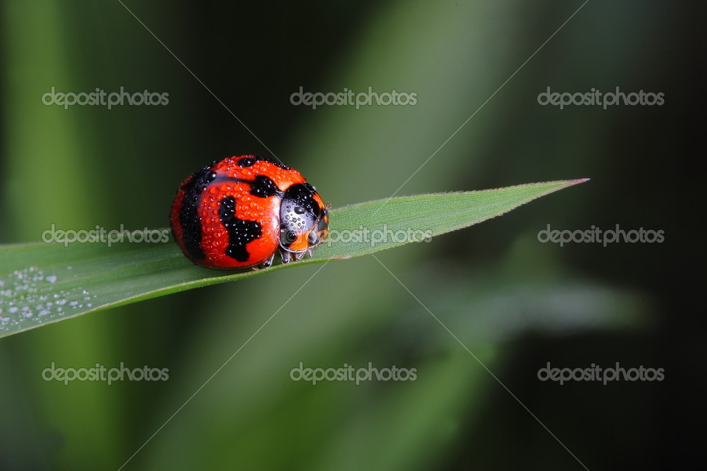 Red ladybug on a green leaf