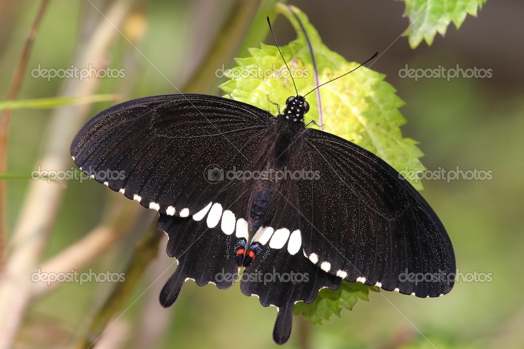 A black butterfly