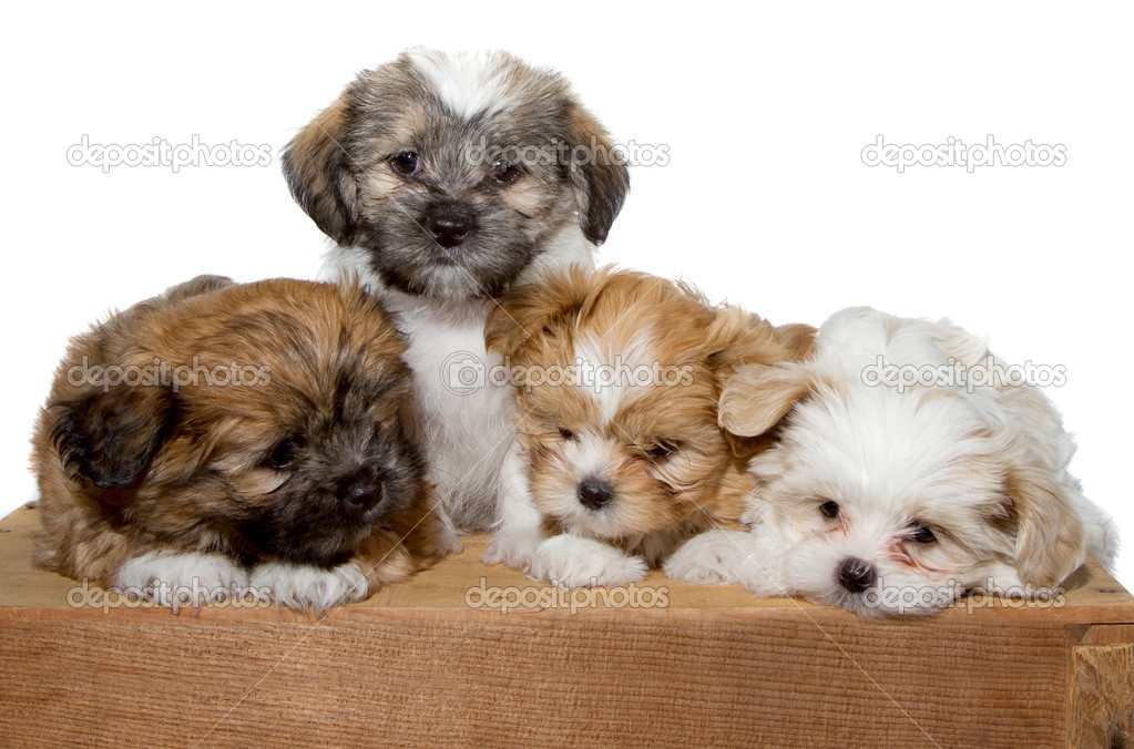 Four puppies on a wood plank