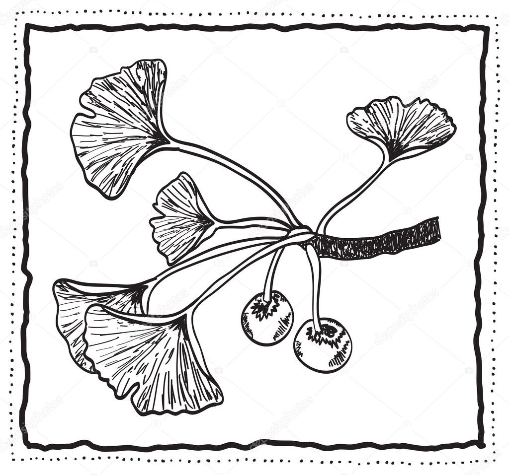Ginkgo biloba hand-drawn branch with leaves