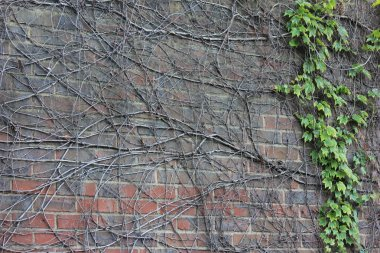 Creeper plant on an old wall