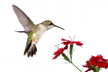 Hummingbird and three dianthus