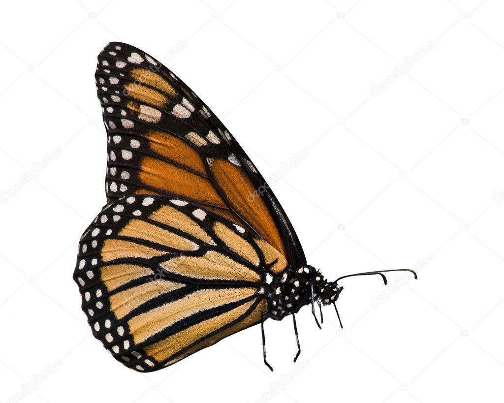 Profile of monarch butterfly