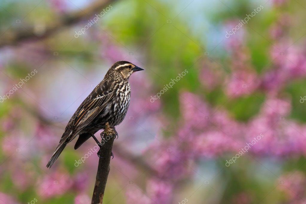 Redwing blackbird in pastel heaven