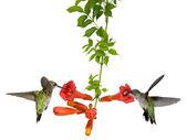 Hummingbirds feed at a trumpet vine