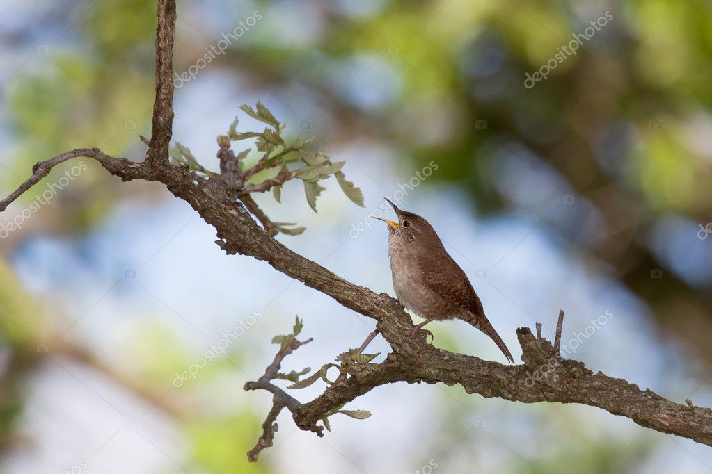 Singing house wren
