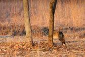 Fotografie Coyote Hids hinter einem Baum in einem praire