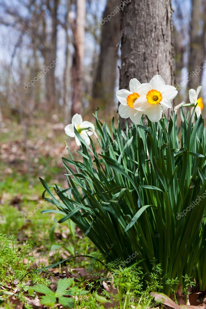 Forest floor daffodils