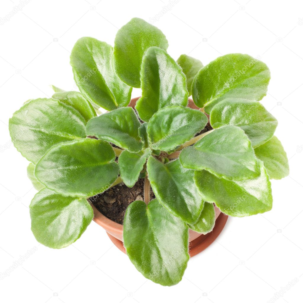 Violet leaves