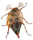 Maybug Bauch