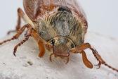 freundlicher Käfer