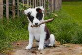 Photo Border collie puppy on grass