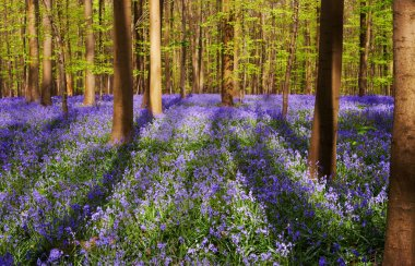 Bluebell forest on a sunny day, with large tree shadows on a blue carpet stock vector