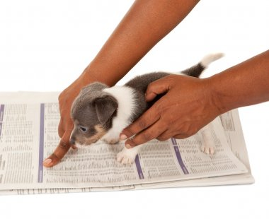Almost house-broken jack russel puppy being taught to go on a newspaper (blurred text) stock vector