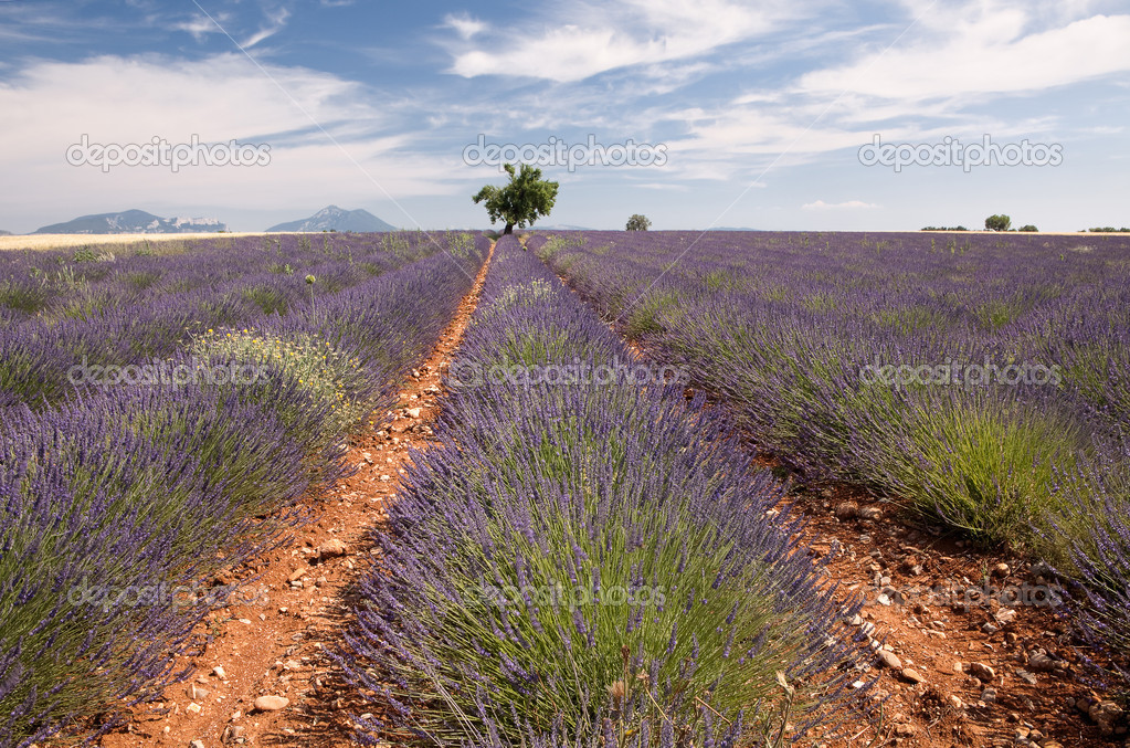 Provence lavender field