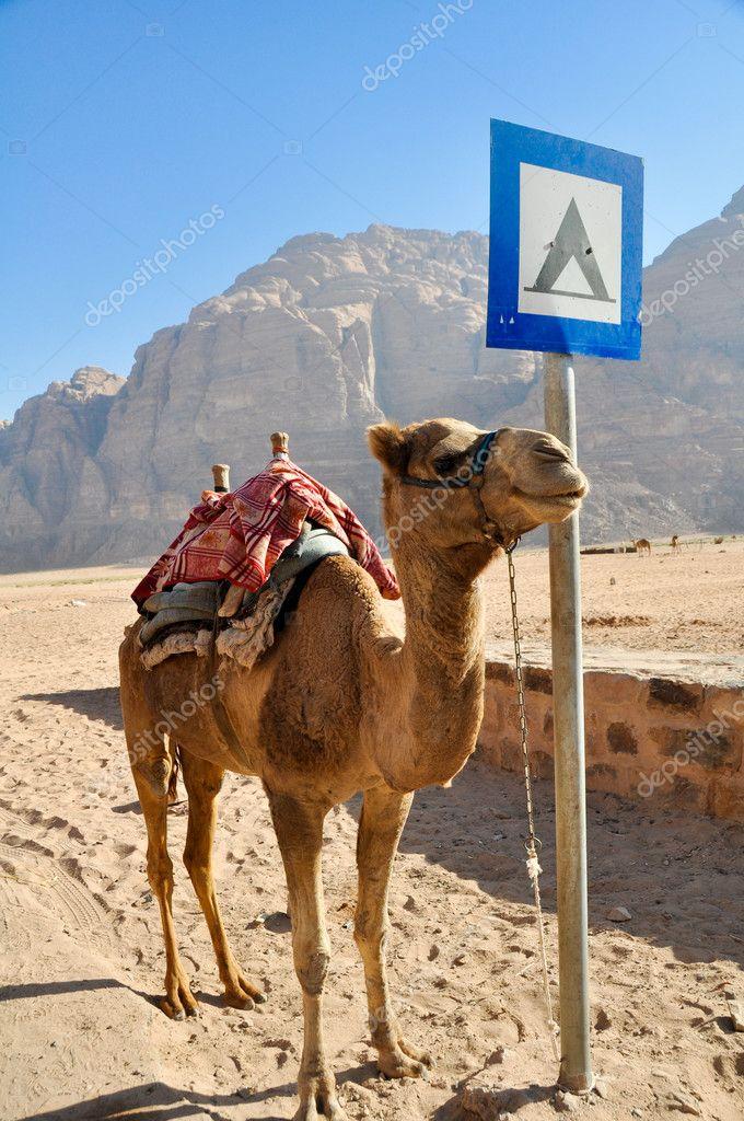 Camel in Wadi Rum desert (jordan)