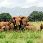 Herd of elephants, Kidepo Valley National Park (Uganda) — стоковое фото #8644594