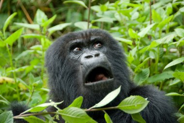 Mountain Gorilla in Volcano National Park (Rwanda) stock vector