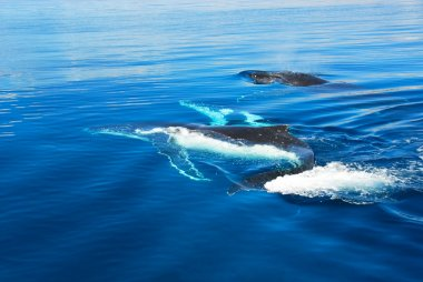 Humpback Whale in Hervey bay, Australia