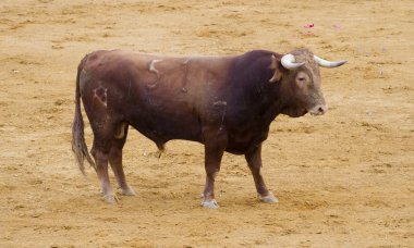 Spanish bulls (toros bravos) in Madrid. Famous from the traditio