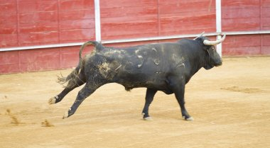 Bullfighting of bulls, typical Spanish tradition where a torero