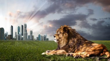 Powerful Lion resting at sunset. the king of the jungle