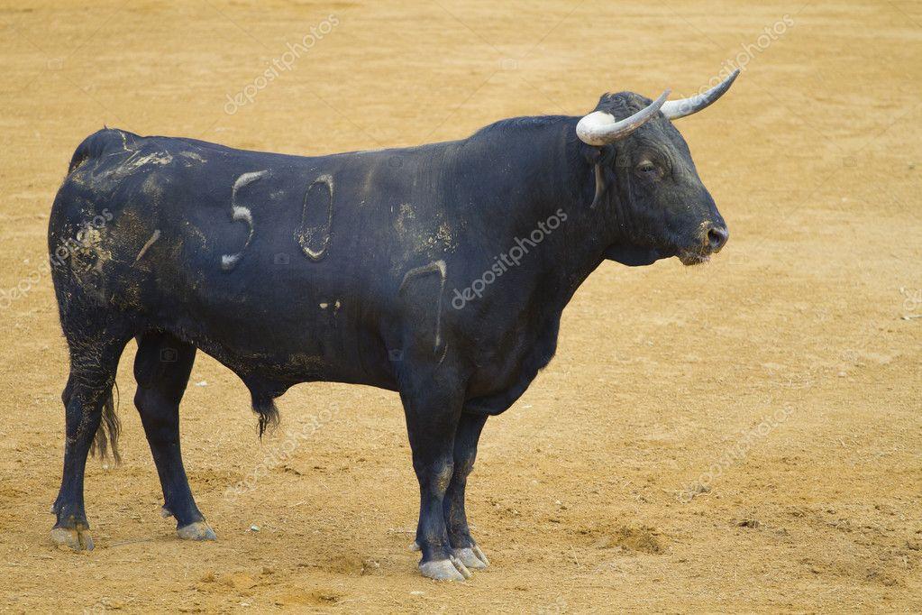 Powerful bull