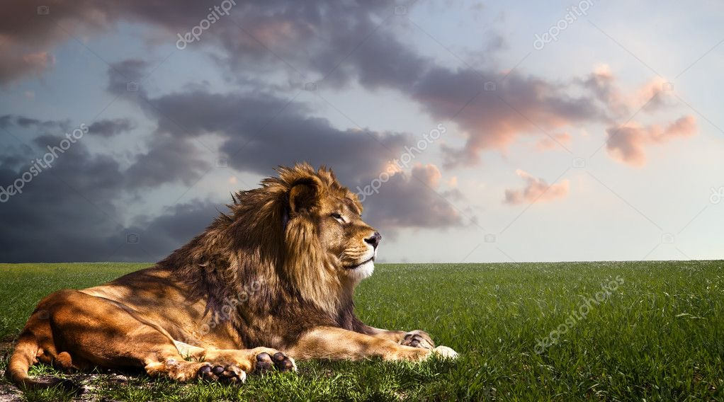 Powerful Lion resting at sunset.