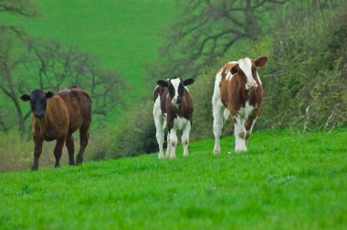 Three Young Cows