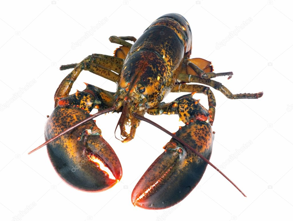 Northern lobster (homarus americanus) over white