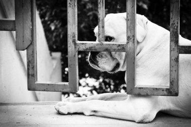 Sad Dog is Sitting Behind Iron Gate