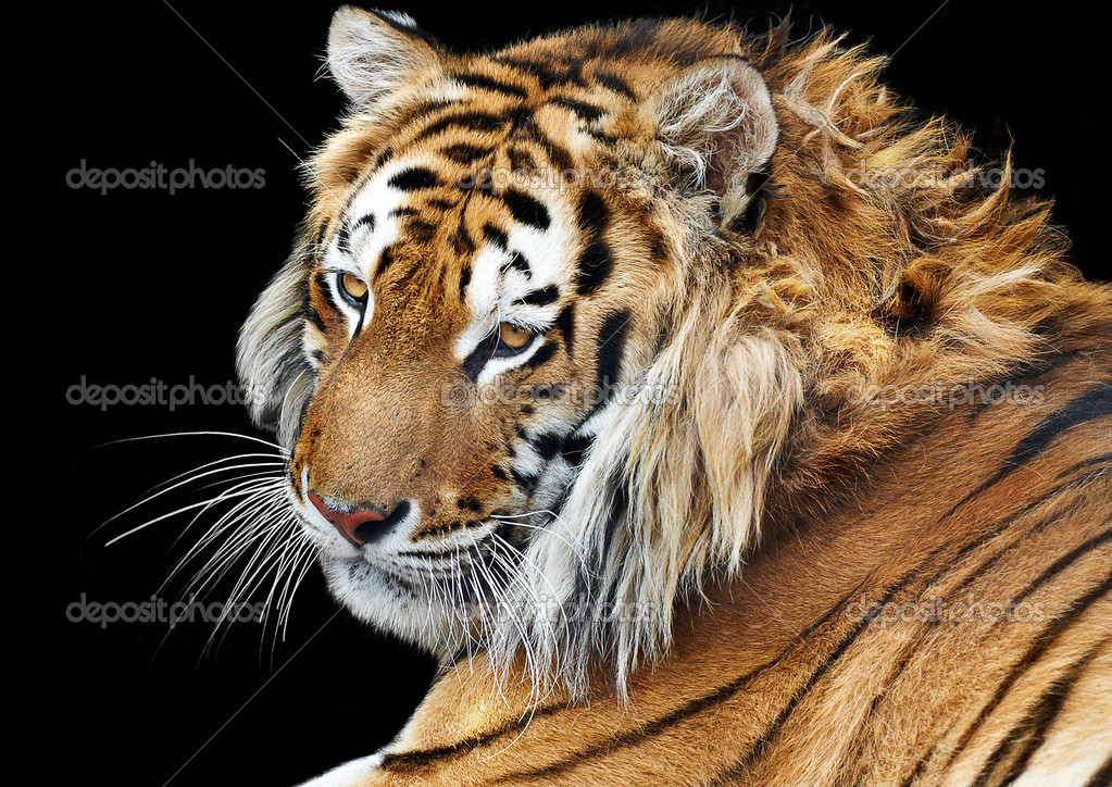 Closeup bengal tiger isolated background studio shooting