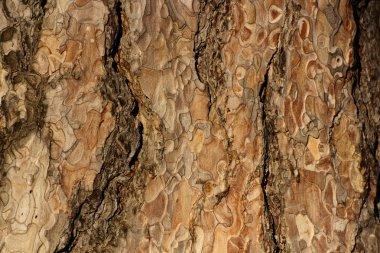 Coniferous bark detail