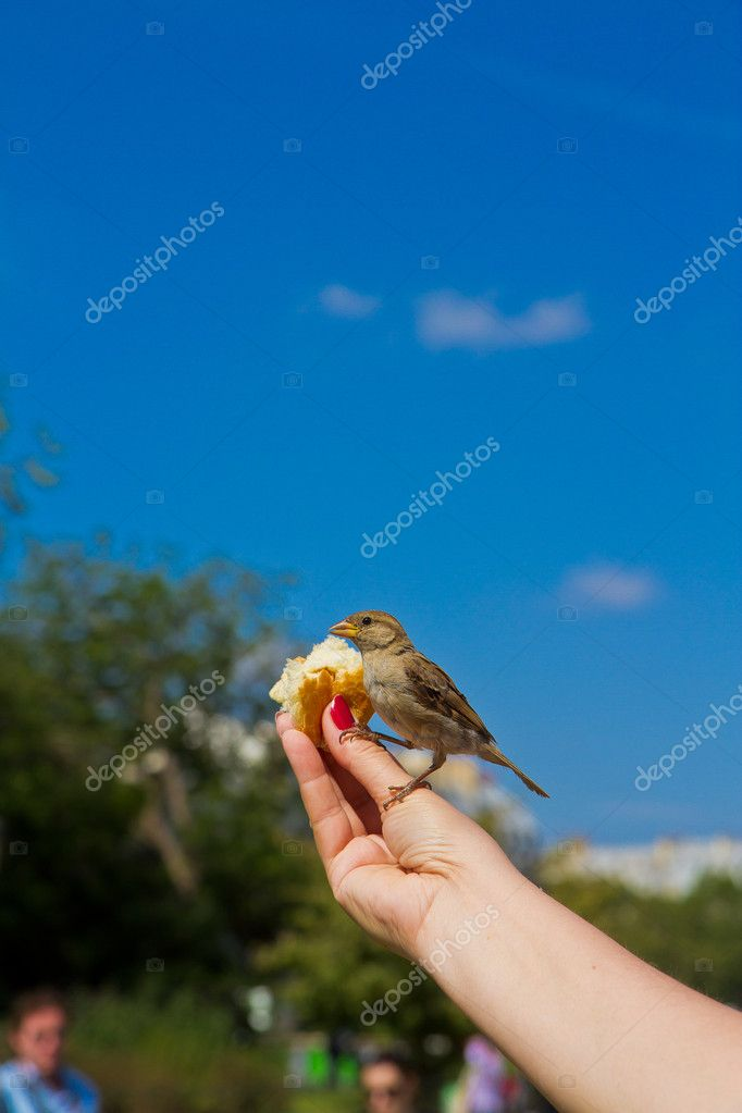 Sparrow eating from man's hands