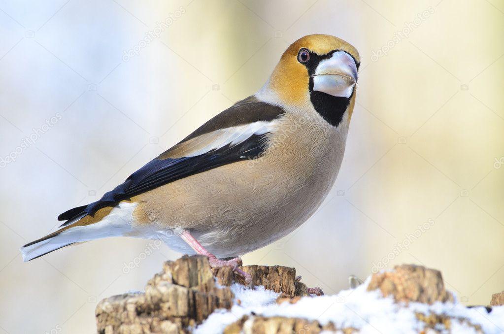 Дубонос (птица фото и описание