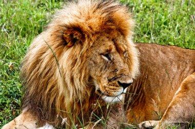 "Картина, постер, плакат, фотообои ""лев в кении "", артикул 8753433"